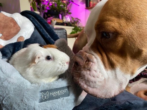 Dogs form unlikely bond with guinea pig best pals – over a bowl of salad